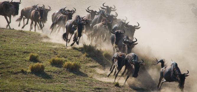 AEL_667x310-Wildebeest